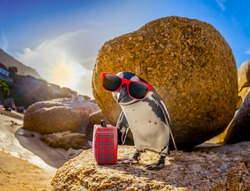 curious african penguin with funny sunglasses and bag or hand luggage at boulders beach in south africa standing on a rock