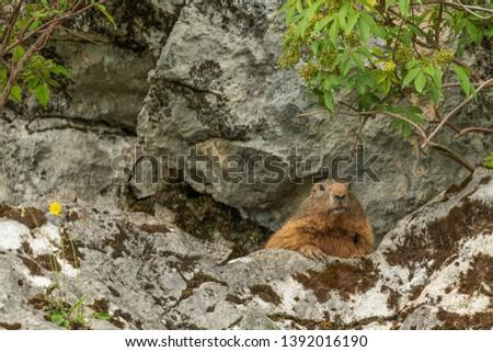 Curious Alpine marmot, Marmota marmota, peeking out from amongst rocks watching the camera