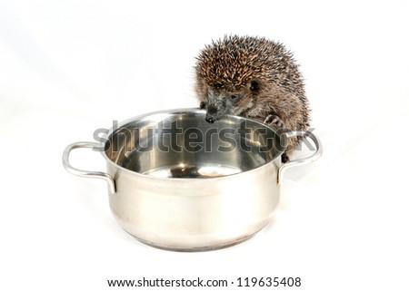 Curious and hungry hedgehog looking for food in a cooking pot