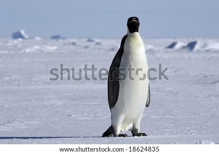 Curious Antarctic penguin