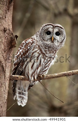 Curious Barred Owl looking at the camera.