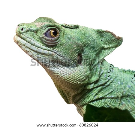 Curious Basilisk isolated on a white background