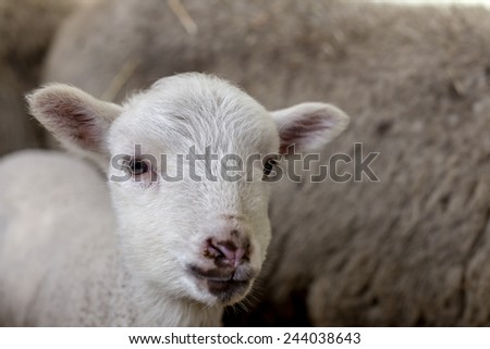 curious beautiful not shorn sheep with lamb with hay in a pen for domestic farm animals. Selective focus with shallow depth of field. As background for design with animals
