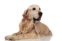 curious beggar golden retriever looks to side while lying on white background