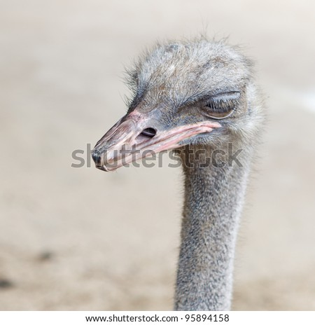 Curious bird ostrich in macro regjime just head