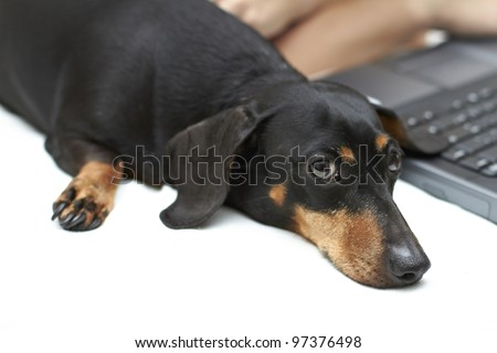 Curious black and brown shaded Dachshund breed