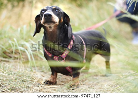 Curious black Dachshund dog breed in park