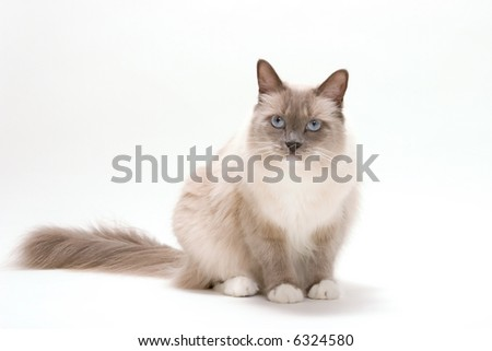 Curious blue colored eyes ragdoll cat