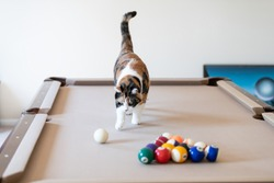Curious calico cat walking on top of billiard, pool table, striking, breaking with paw white ball, game of snooker, balls set in living room of home, house, apartment