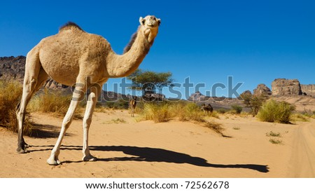 Curious Camel in the Desert - Akakus (Acacus) Mountains, Sahara, Libya