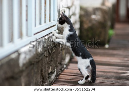 Curious Cat, A cat stand on two leg to look from embrasure wooden white wall. Select focus at a cat and blurred foreground & background