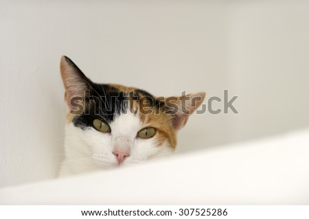Curious cat eyes is a Calico cat with jade green eyes full of curiosity looking right at you.
