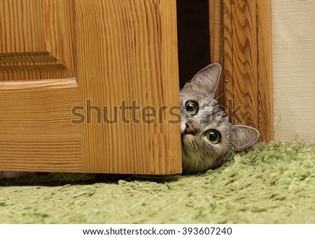 Curious cat looking between doors, funny curious grey cat, naughty cat looking straight to the camera, green eyes cat