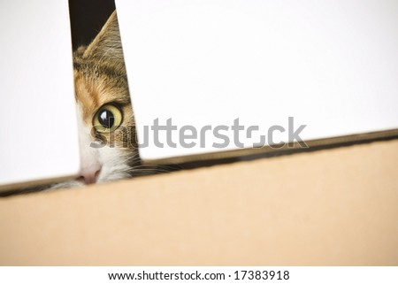 Curious cat peeking out of box - landscape interior