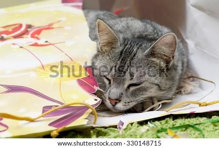 Curious Cat sleeping in Christmas bag, Curious cat with christmas box, cat playing with the box on Christmas time, domestic young cat, young playing cat