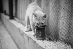 Curious cat sniffs old rusty pipe near rural fence. Perspective view. BW photo