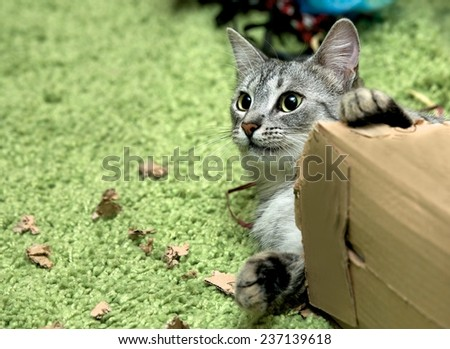 Curious cat with christmas box, cat playing with the box on Christmas time, domestic young cat, young playing cat