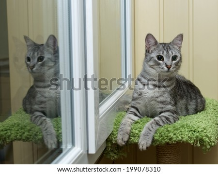 Curious cat with the reflection on the window on in natural dirty background, resting cat, cat and siesta, resting cat