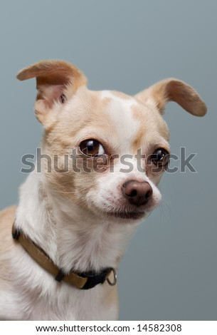 Curious Chihuahua with Perked Ears
