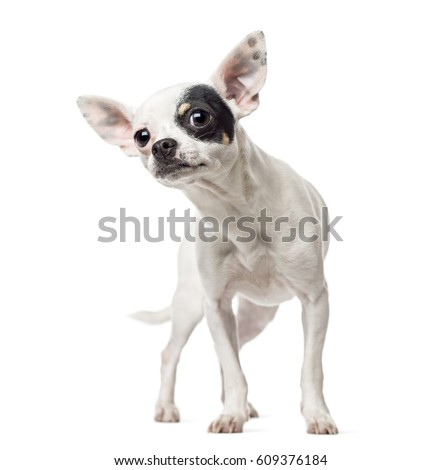 Curious Chihuahua, 1 year old, isolated on white