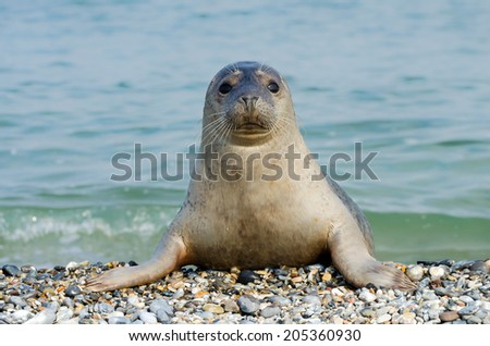 Curious common seal