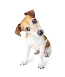 curious confused cute dog looks at you attentively. Adorable Jack Russell terrier pet. White background