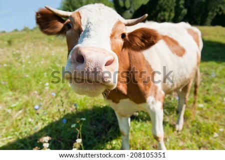 Curious cow in the meadow (focus on the nose)