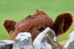 Curious cow peering over stone wall to take a close look at campers.