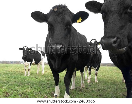 curious cows in field