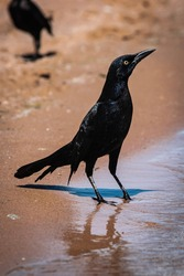 curious crow on the beach of the Colorado river
