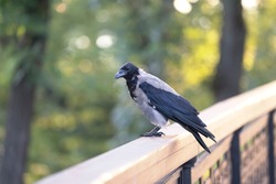 Curious crow on the fence close-up. Hooded crow (Corvus cornix), hoodie.