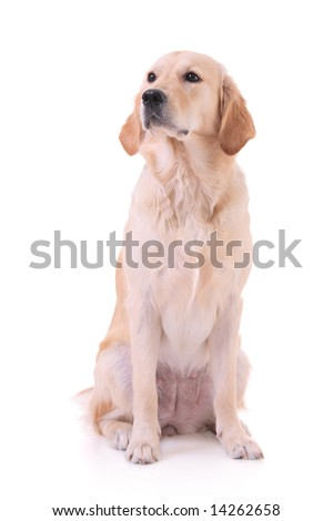Curious dog against white background