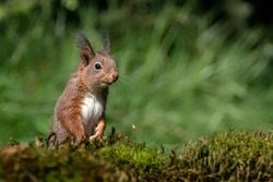 Curious Eurasian red squirrel (Sciurus vulgaris)  in the forest of Noord Brabant in the Netherlands.