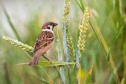 Curious eurasian tree sparrow, passer montanus, sitting on wheat spike in the summer. Little bird observing surrounding resting on grain. Animal staring from the ear in agricultural field.