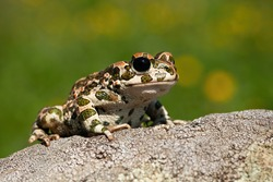 Curious european green toad, bufotes viridis, looking with big black eyes in summer. Slimy amphibian with wet spotted skin observing from rock on a sunny day from front low angle view.