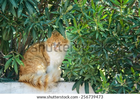 Curious fluffy ginger and white tabby cat sitting among the bushes