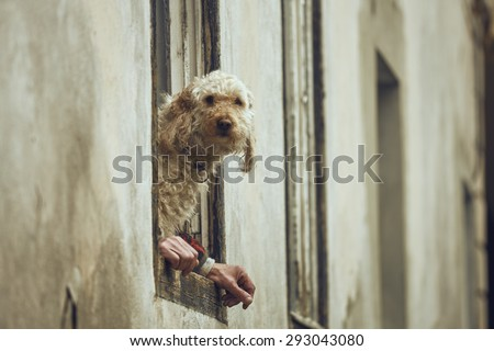 Curious fluffy golden poodle dog sitting on a window sill between the owner\'s hands. Dog with human hands illusion. Dog and human symbiosis.