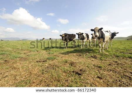curious fresian heifers