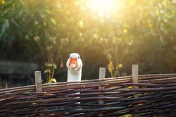 Curious funny goose staring from behind a wattle fence on a sunny day. Cute white goose portrait in sunlight. Just one goose at a fence.