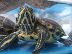 curious gaze of the turtle immersed in water