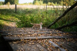 Curious ginger kitten exploring the outdoors on a wooden bridge, covered with leaves