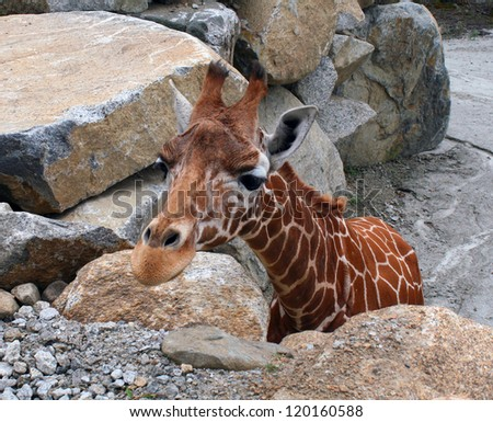 Curious giraffe (Giraffa camelopardalis) Close up - stock photo