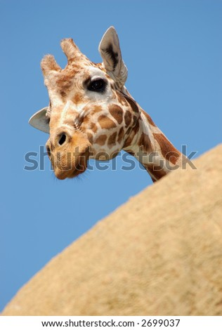 Curious giraffe is peeking from behind a rock, curious to see the what's going on in the world.