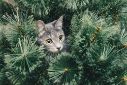 Curious gray kitten climbed onto Christmas tree. New year theme.