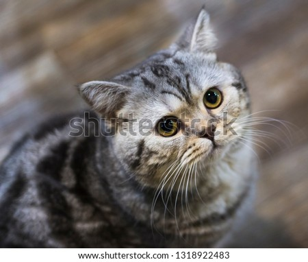 curious grey cat looks at the camera sitting on the floor #1318922483