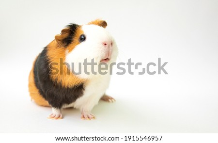 Curious guinea pig on white background, guinea pig cute portrait Сток-фото ©