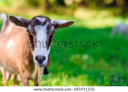 Curious happy goat grazing on a green grassy lawn.Portrait of a funny goat. Farm Animal. The goat is looking at the camera.