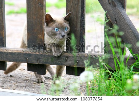 Curious hunting young blue-eyed siamese cat