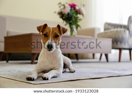 Curious Jack Russell Terrier puppy looking at the camera. Adorable doggy with folded ears lying on the floor at home. Vase with flowers on coffee table. Close up, copy space, cozy interior background.