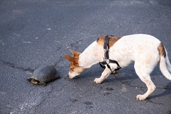 Curious Jack Russell Terrier puppy smelling a spotted turtle on a road